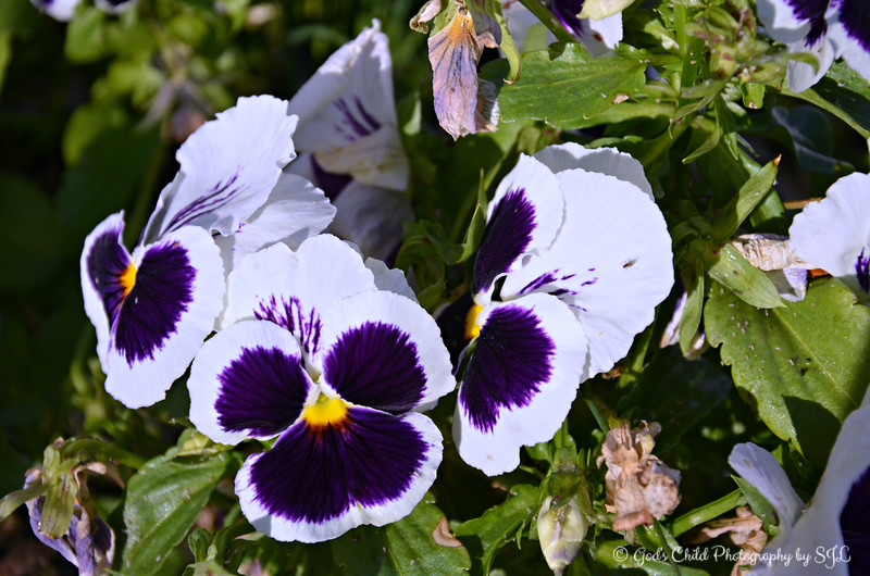 """PANSIES WITH A POP OF PURPLE""<br /> <br /> ""How does a pansy, for example, select the ingredients from soil to get the right colors for the flower? Now there's a great miracle. I think there's a supreme power behind all of this. I see it in nature."" ~ Clyde Tombaugh<br /> <br /> Fansy pansies......Oh, what a beautiful day it was - temperature 77 degrees.......during winter!<br /> <br /> Fairview Inn<br /> 734 Fairview Street (Greater Belhaven Neighborhood)<br /> Jackson, MS<br /> Official website: <a href=""http://www.fairviewinn.com"">http://www.fairviewinn.com</a><br /> Complete historical information is here: <a href=""http://www.fairviewinn.com/our-history"">http://www.fairviewinn.com/our-history</a><br /> <br /> (photo taken 2/19/2016)<br /> <br /> My Homepage:  <a href=""http://www.GodsChild.SmugMug.com"">http://www.GodsChild.SmugMug.com</a>"