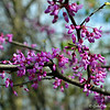 "March 28, 2015<br /> <br /> ""REDBUDS""<br /> <br /> ""There came a time when the risk to remain tight in the bud was more painful than the risk it took to blossom."" ~ Anais Nin<br /> <br /> The early, formative stages of budding redbuds........<br /> <br /> USDA<br /> 133 North or 210 South Martin Luther King, Jr. Drive<br /> Certified Wildlife Site<br /> Indianola, MS<br /> <br /> My Homepage:  <a href=""http://www.Godschild.SmugMug.com"">http://www.Godschild.SmugMug.com</a>"