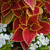 "July 3, 2015<br /> <br /> ""COLEUS LEAVES SURROUNDED BY WHITE PERIWINKLE FLOWERS""<br /> <br />  ""I'm so glad I live in a world where there are Octobers."" ~ L.M. Montgomery (excerpt from ""Anne of Green Gables"")<br /> <br /> These leaves / flowers were in pots all around the downtown area of the city. These were located beside the traffic signal box art that I posted a photo of on Saturday. Do you see the insect?<br /> <br /> Corners of State and North Streets<br /> Jackson, MS<br /> <br /> My Homepage:  <a href=""http://www.GodsChild.SmugMug.com"">http://www.GodsChild.SmugMug.com</a>"