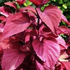 "July 13, 2014<br /> <br /> Velvet Red ""COLEUS LEAVES""<br /> <br /> We were there to eat - NOT gamble - thank you!<br /> <br /> Ameristar Casino <br /> 4116 Washington Street<br /> Vicksburg, MS"