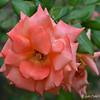 """May 10, 2015 (Mother's Day)<br /> <br /> """"PEACH / ORANGE SHERBERT COLORED ROSES""""<br /> <br /> Next door neighbor's yard at 1220 our street"""