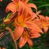 May 20, 2015<br /> <br /> ASIATIC LILIES<br /> <br /> Lake Village Branch Library<br /> 108 Church Street<br /> Lake Village, AR