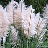 "September 28, 2015<br /> <br /> ""WHITE FEATHER PAMPASS GRASS""<br /> <br /> ""The grass isn't always greener on the other side!"" ~ Ricky Gervais<br /> <br /> Ornamental grass with feathery plumes....<br /> <br /> My Homepage:  <a href=""http://www.GodsChild.SmugMug.com"">http://www.GodsChild.SmugMug.com</a>"