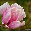 March 14, 2015<br /> <br /> Sign of spring.......<br /> <br /> Japanese Magnolia<br /> Hollandale, MS