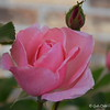 April 18, 2016<br /> <br /> One of several pink roses in a flowerbed of roses on the side of our home