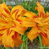 """June 5, 2017<br /> <br /> """"DOUBLE DAYLILIES""""<br /> <br /> """"Art is the unceasing effort to compete with the beauty of flowers - and never succeeding."""" ~ Gian Carlo Menotti<br />  <br /> Our neighbor's flowerbed on the side of her house....<br /> <br /> My Homepage:  <a href=""""http://www.GodsChild.SmugMug.com"""">http://www.GodsChild.SmugMug.com</a>"""
