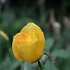 "May 10, 2015 (Mother's Day)<br /> <br /> ""YELLOW ROSE"" in our next door neighbor's yard at 1220 our street"