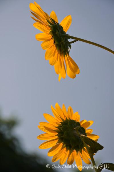 "July 17, 2017<br /> <br /> A PERFECT ""SUNFLOWER""<br /> <br /> Delores's Garden<br /> Lake Village; AR<br /> <br /> My Homepage:  <a href=""http://www.GodsChild.SmugMug.com"">http://www.GodsChild.SmugMug.com</a>"