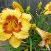 """June 5, 2017<br /> <br /> """"GROWNUP DAYLILY AND BABY BUDS""""<br /> <br /> """"Without the name, any flower is still more or less a stranger to you. The name betrays its family, its relationship to other flowers, and gives the mind something tangible to grasp. It is very difficult for persons who have had no special training to learn the names of the flowers from the botany."""" ~ John Burroughs<br />  <br /> Our neighbor's back yard....<br /> <br /> My Homepage:  <a href=""""http://www.GodsChild.SmugMug.com"""">http://www.GodsChild.SmugMug.com</a>"""
