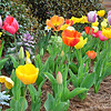 "March 7, 2016<br /> <br /> Here's a very quick point-and-shoot of bright, happy, and sweetly scented tulips on a beautiful day! I spy dusty millers and ornamental cabbage/kale.<br /> <br /> Entrance to Kent Wyatt Hall<br /> Delta State University<br /> Highway 8<br /> Cleveland, MS<br /> <br /> My Homepage:  <a href=""http://www.GodsChild.SmugMug.com"">http://www.GodsChild.SmugMug.com</a>"
