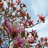 March 16, 2015<br /> <br /> Japanese Magnolia Tree