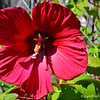"""GIANT MAROON HIBISCUS""<br /> <br /> ""True strength is keeping everything together when everyone expects you to fall apart."" ~ Unknown Author<br /> <br /> View the abstract that I created from this flower here: <a href=""http://godschild.smugmug.com/FlowerPower/Flower-Power-2014/i-3wc4bsN/A"">http://godschild.smugmug.com/FlowerPower/Flower-Power-2014/i-3wc4bsN/A</a><br /> <br /> Front yard of a residence <br /> Hamburg, AR<br /> <br /> (photo taken 8/13/2014)"