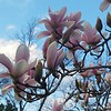"""February 11, 2017<br /> <br /> Yesterday, the tree had a few of these """"Japanese Magnolias"""" (aka """"Saucer Magnolias"""") on it. Today, the temperature reached a high of 78 degrees and more flowers appeared.  These beautiful Japanese Magnolias (aka """"Saucer Magnolias"""") have me badly longing for spring. Even in our city, it really has felt like spring the last few days, a lovely respite from the winter cold. I hope you've had a little break in the weather, too! It will tide us over until spring truly arrives."""