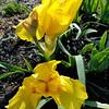 "April 17, 2018<br /> <br /> ""IRISES""<br /> <br /> Pecan Grove RV Park<br /> 3768 South Highway 65, #82<br /> Lake Village, AR 71653<br /> Official website:  <a href=""http://www.pecangrove.net"">http://www.pecangrove.net</a><br /> <br /> My Homepage:  <a href=""http://www.GodsChild.SmugMug.com"">http://www.GodsChild.SmugMug.com</a>"
