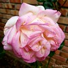 "April 25, 2018<br /> <br /> ""ROSES""<br /> <br /> Flowerbed<br /> Our Next Door Neighbor's Yard<br /> <br /> My Homepage:  <a href=""http://www.GodsChild.SmugMug.com"">http://www.GodsChild.SmugMug.com</a>"