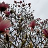 "February 24, 2018<br /> <br /> JAPANESE MAGNOLIA BUDS and JAPANESE MAGNOLIA FLOWERS<br /> <br /> Signs of Spring? I spotted this tree in our back yard with Japanese Magnolia buds and Japanese Magnolia flowers......had to take a pic.....it's winter!<br /> <br /> My Homepage:  <a href=""http://www.GodsChild.SmugMug.com"">http://www.GodsChild.SmugMug.com</a>"