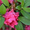 "April 17, 2015<br /> <br /> ""RAIN-DRENCHED AZALEAS""<br /> <br /> ""Give thanks for the rain in your life which waters the flowers of your soul."" ~ Jonathan Lockwood Huie<br /> <br /> We have two short bushes in our backyard that never fail to produce very hot pink azaleas every spring. I couldn't wait for the rain to cease so that I could take advantage of the photo op. Afterwards, the sun shone brightly!<br /> <br /> (One of two Crepe Myrtle bushes in our back yard)<br /> <br /> My Homepage:  <a href=""http://www.Godschild.SmugMug.com"">http://www.Godschild.SmugMug.com</a>"