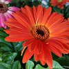 "April 21, 2018<br /> <br /> ""GERBERA DAISIES""<br /> <br /> Wal Mart Garden Center<br /> Indianola, MS<br /> <br /> My Homepage:  <a href=""http://www.GodsChild.SmugMug.com"">http://www.GodsChild.SmugMug.com</a>"