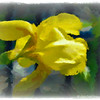 """April 3, 2015<br /> <br /> Tuesday, August 11, 2015<br /> <br /> """"YELLOW BEARDED IRIS"""" (The Metamorphosis)<br /> <br /> """"Never explain yourself to anyone, because the person who likes you doesn't need it and the person who dislikes you won't believe it."""" ~ by Dave Hedges <br /> <br /> Here's another one of my """"artistic creations"""" (not post processed with Topaz Labs). Although I was satisfied with the original """"before"""" photo of this iris, I didn't favor its background. As a result, I was inspired to metamorphosize it by applying """"painting"""" background effect and PM's """"frost"""" effect. Would Vincent Van Gogh approve:)? I think so!<br /> <br /> View the original (""""before"""") photo here:<br /> <br /> <a href=""""http://godschild.smugmug.com/TravelOhthePlacesWeveBeen/Vicksburg-MS-Daytrip-2010/i-hRrctTG/A"""">http://godschild.smugmug.com/TravelOhthePlacesWeveBeen/Vicksburg-MS-Daytrip-2010/i-hRrctTG/A</a><br /> <br /> Catfish Row Children's Art Park <br /> Downtown on Levee Street<br /> Vicksburg, MS<br /> <br /> (post processed 5/2/2015; PM's frame applied 5/5/2015)<br /> <br /> My Homepage:  <a href=""""http://www.GodsChild.SmugMug.com"""">http://www.GodsChild.SmugMug.com</a>"""