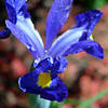 """April 17, 2015<br /> <br /> """"VIOLET BLUE IRIS (aka """"DUTCH IRIS"""") <br /> <br /> """"The Amen of nature is always a flower."""" ~ Oliver Wendell Holmes, Sr.<br /> <br /> This was spotted in the flowerbed under the Japanese Magnolia tree in our back yard. The word iris means """"rainbow"""" because of its many colors. Each year, in the flowerbed in our back yard, this iris reappears. It had rained prior to this photo, and thus, nature's tears.<br /> <br /> My Homepage:  <a href=""""http://www.GodsChild.SmugMug.com"""">http://www.GodsChild.SmugMug.com</a>"""