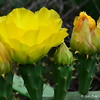 May 20, 2015<br /> <br /> CACTUS FLOWER and BUDS<br /> <br /> Photographed on the side of the road (not far from Delores's Garden)<br /> Lake Village, AR