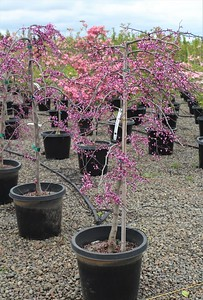 Cercis canadensis 'Ruby Falls' 4-5 ft #15