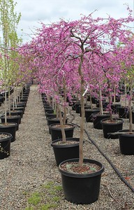 Cercis canadensis 'Covey' 1 75 in #20