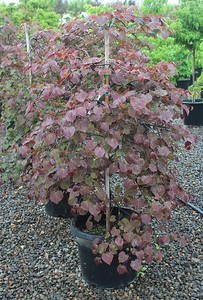 Cercis can  'Ruby Falls' 4-5 ft #15