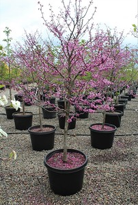 Cercis canadensis 'Forest Pansy' 1 75 in #25