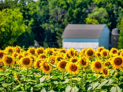 8.17.2019 Obligatory sunflower photo