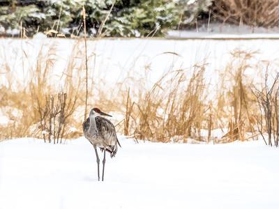 4.16.2018 Another snowbird