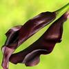 Rippled Petals