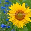 Sunflower and Cornflowers