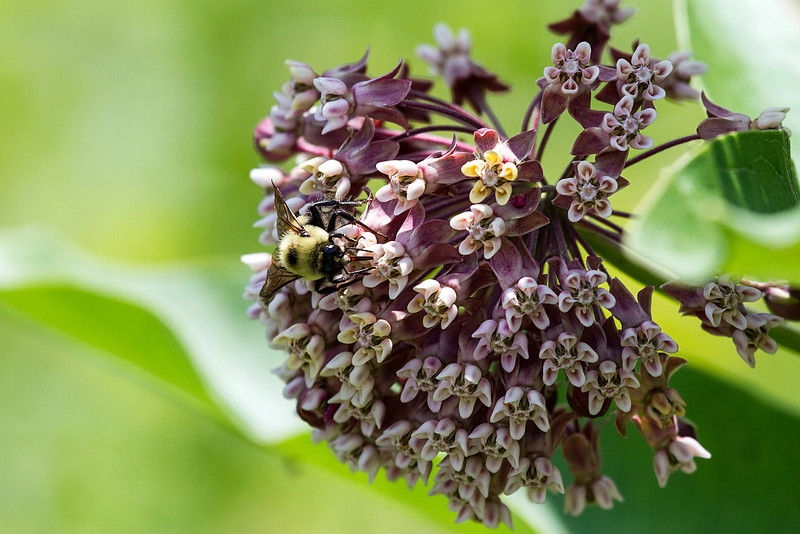 Common Milk weed with bumble bee