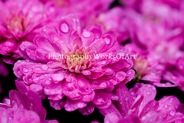 Mums after the Rain