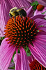 Bumble bee on coneflower - Emmaus, PA - 2009