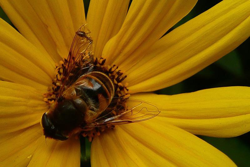 Honey bee on flower - 2008