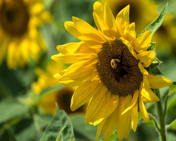 Second Mountain Sunflower Farm - Orwigsburg, PA - 2020