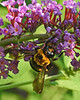 Bee on butterfly bush - Emmaus, PA - 2012