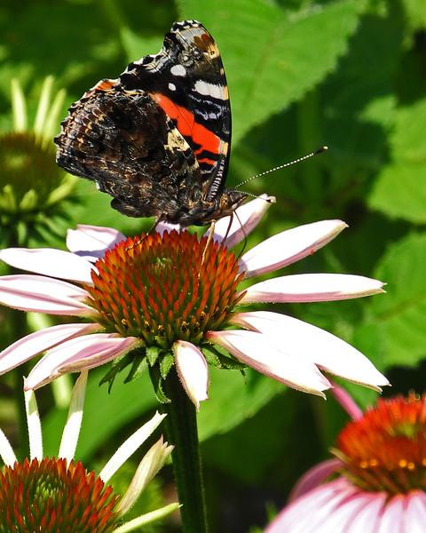 Butterfly on coneflower - Emmaus, PA - 2012