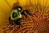 Bumble bee on sunflower - 2010