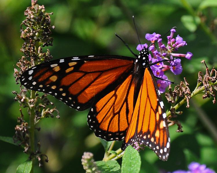 Butterfly bush attracting it's namesake - Emmaus, PA - 2012