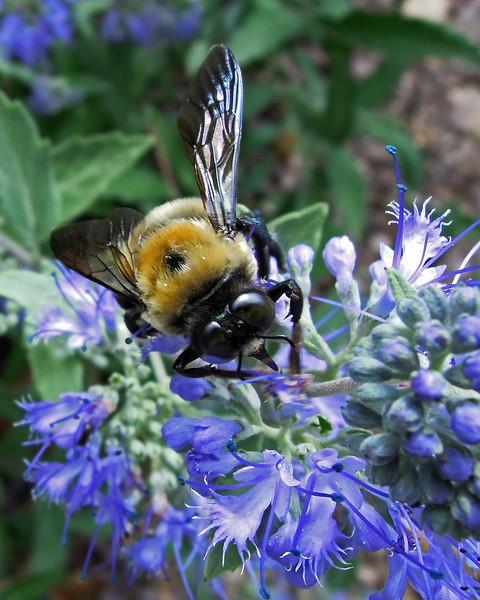 Bee on Blue Mist shrub - Emmaus, PA - 2012