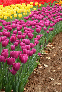 Row of Colorful Tulips