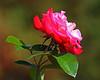 The Rose Garden - Allentown, PA - 2013