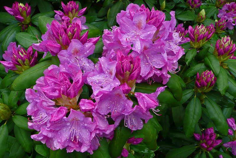 Rhododendron blossoms - Emmaus, PA - 2008