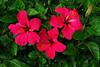 Hibiscus - Bermuda - 2008