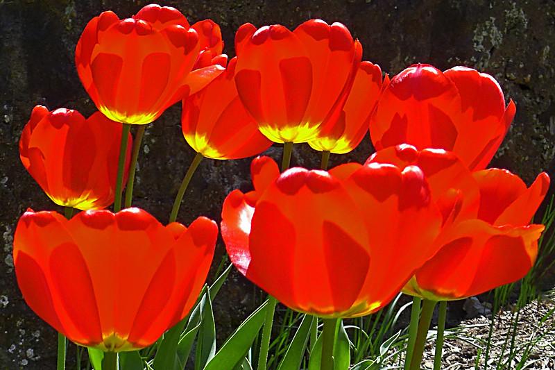 Tulips - Wayne, PA - 2013