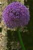 Allium - Madison Square Park - NYC - 2008