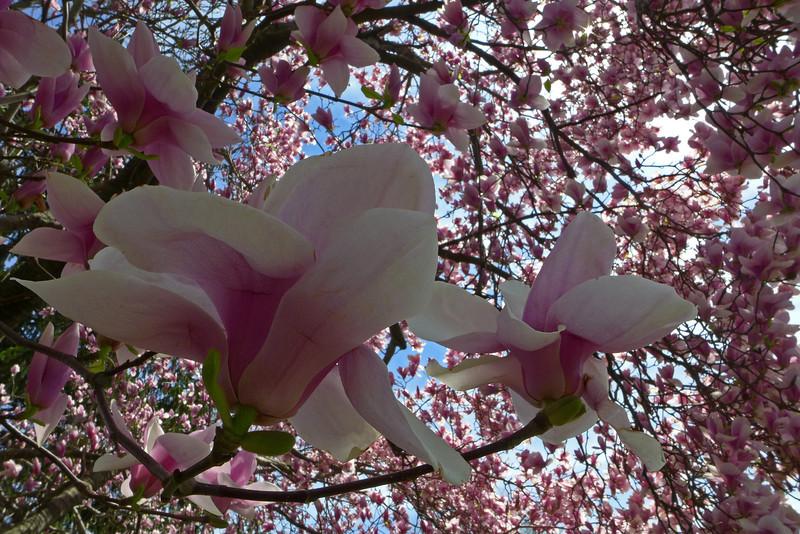 magnolia blooms - The Rose Garden - Allentown, PA - 2013
